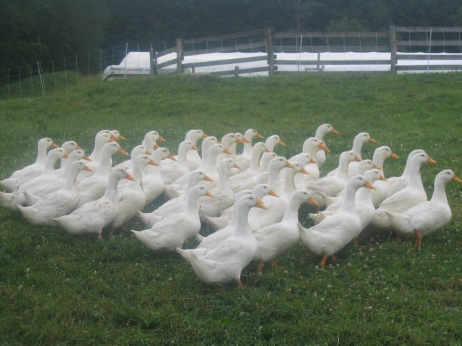 Mature Ducks