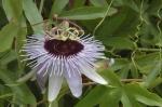 Passiflora X 'Blue Bouquet'