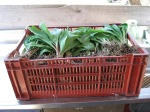 Bunched Ramps for Market