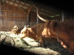 Mama Cows in Winter Shed