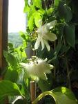 Passiflora X 'White Wedding'