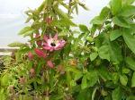 Passiflora violacea