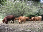 Red Angus Bull with Cows